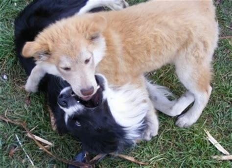 border collie husky mix puppies for sale border collie husky mix puppies for sale