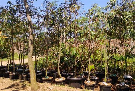 Bibit Durian Bawor Jawa Timur jual bibit durian di pati jual bibit tanaman unggul