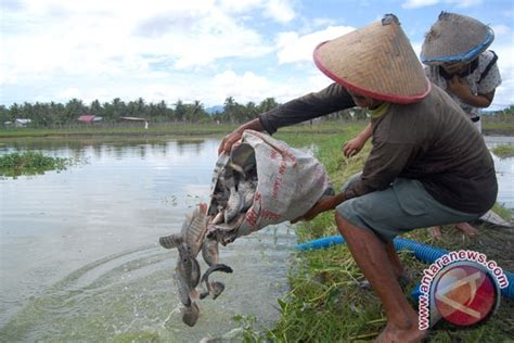 Umpan Bibit Ikan Bawal budidaya mujair makin menjanjikan antara news