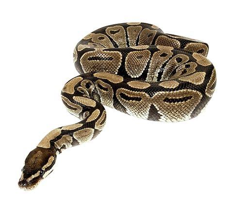 python image python snake png transparent python snake png images