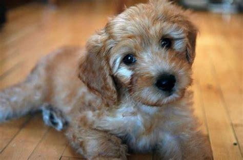 goldendoodle puppy not goldendoodles poodle golden retriever mix
