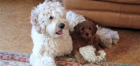 australian doodle club the gallery for gt senior picture ideas for with dogs