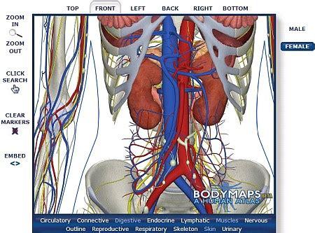 corpo umano maschile organi interni corpo umano virtuale 3d