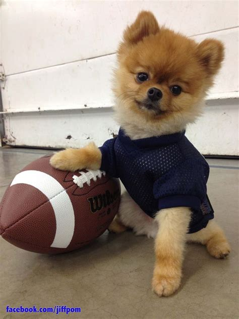 puppy football who wore it better 8 dogs sporting their football finest rover
