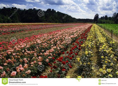 Field Of Roses Stock Photo   Image: 2697630