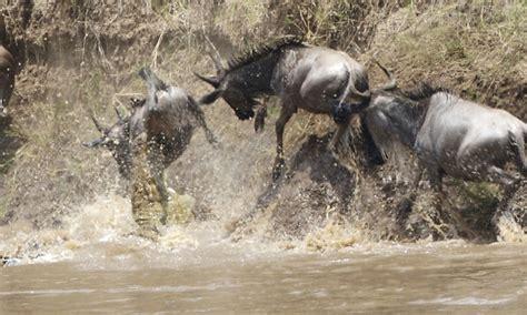 michael che hunting mara river crossing kenya atlas obscura