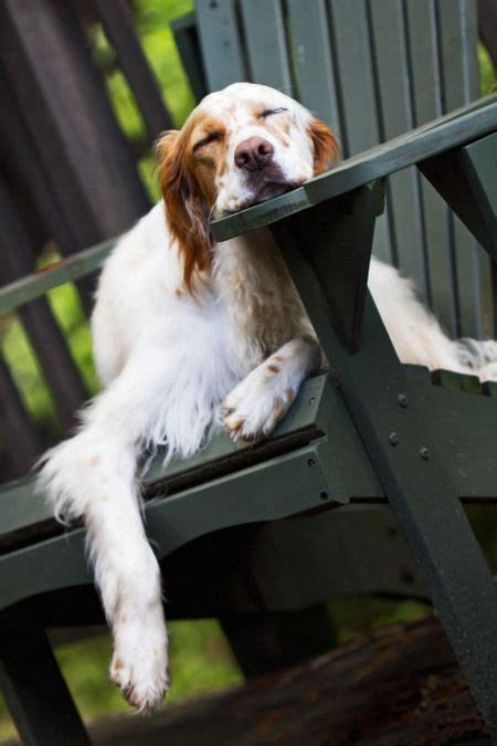 setter def 17 best images about english setter love on pinterest