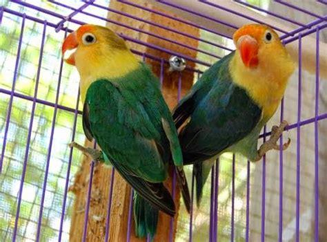 gambar burung lovebird parblue kliping agribisnis indonesia