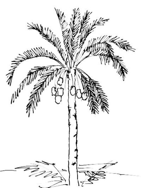 date tree coloring page coconut tree drawing lessons www pixshark com images