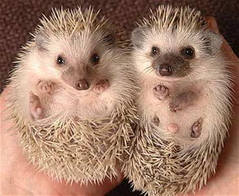 majestys service love hedgehogs