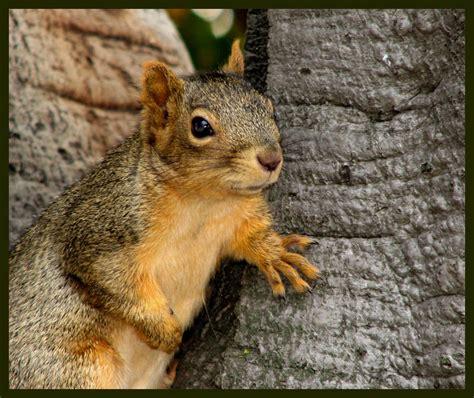 treknature fox squirrel photo