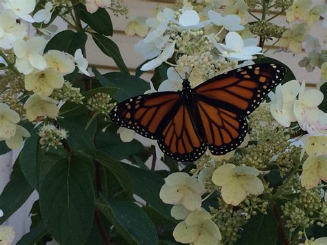 monarch butterfly food