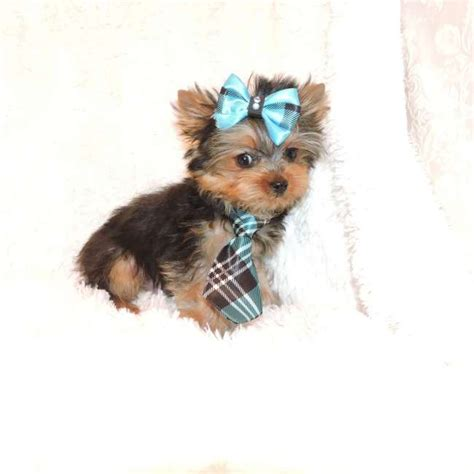 teacup yorkie boy names grown yorkie weight toby breeds picture