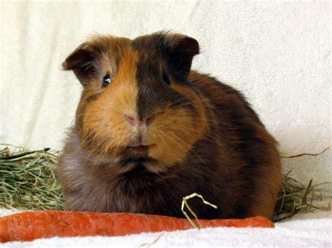 guinea pug which guinea pig run