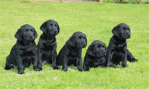 what to do with puppy at our assistance dogs dogs for the disabled