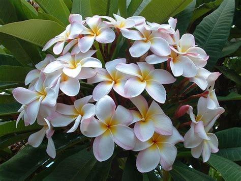 pomelia fiore pomelia piante da giardino frangipane pianta