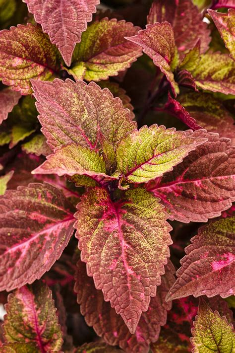 Marguerite Green Tea Spread 105gr colorblaze 174 royal glissade 174 coleus solenostemon