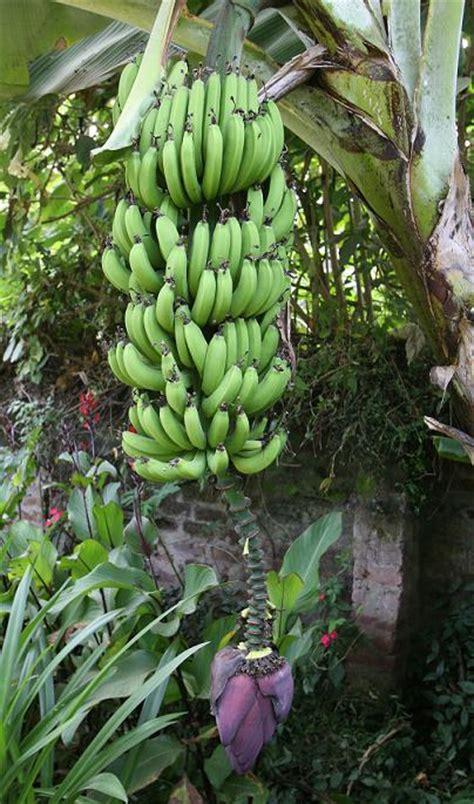 how often do banana trees fruit tanzanian plants diggingdigging