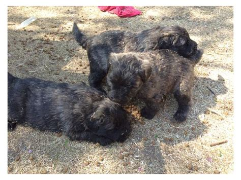 bouvier puppies for sale bouvier puppies for sale harrismith puppies for sale
