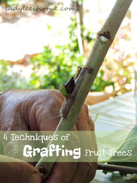 4 techniques of grafting fruit trees s home - Fruit Tree Grafting Methods