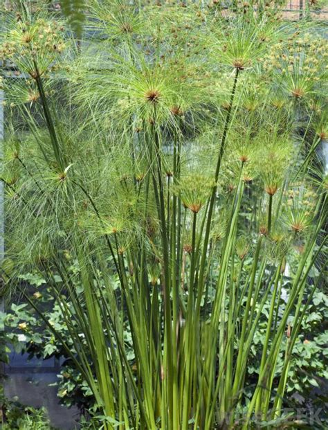 Plants Used For Paper - what is papyrus with pictures