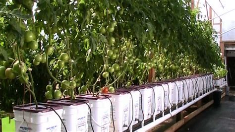 update dutch bucket hydroponic tomatoes oct  hd youtube