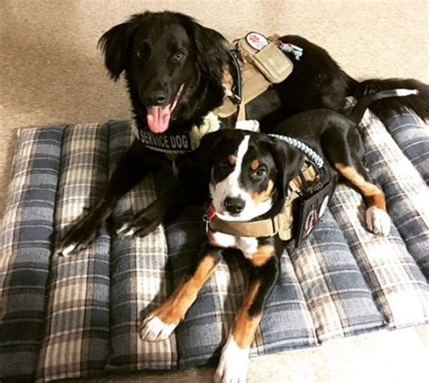 what can service dogs be trained to do service guide the basics service certifications