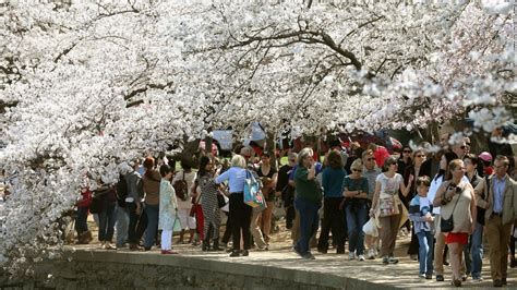 national cherry blossom festival cherry blossoms now s the time to to washington