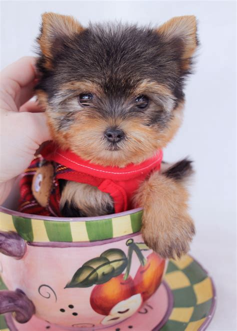 teacup puppies for sale in florida pomeranian puppies for sale in south florida teacup pomeranians breeds picture