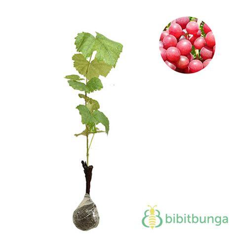 Bibit Anggur Prince tanaman anggur prince bibitbunga