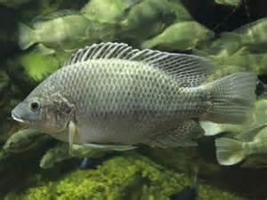 Fish Index: Mozambique Tilapia (Oreochromis mossambicus)