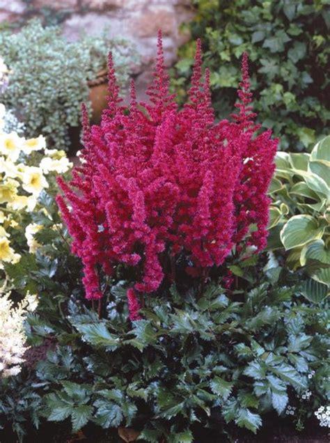 visions  red chinese astilbe wilson nurseries