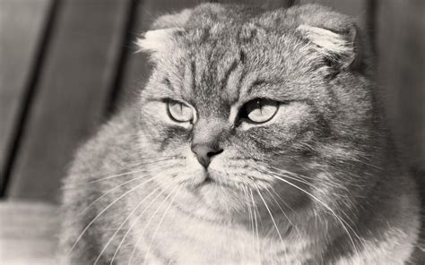 grumpy scottish fold cat black and white photo desktop