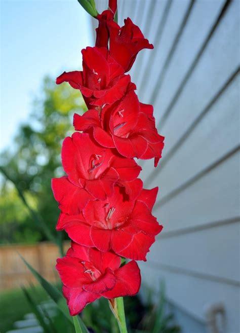 imagenes flores gladiolos galer 237 a de im 225 genes gladiolos