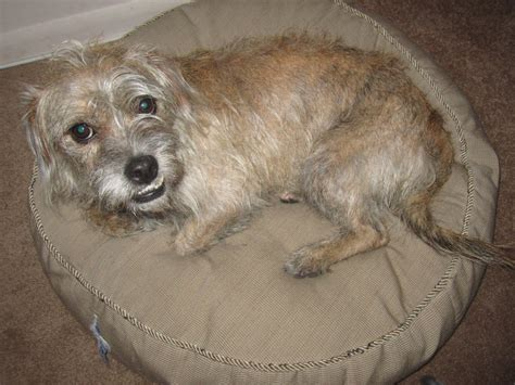 how to a terrier mix border terrier mix images