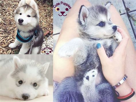 adorable husky puppies husky puppies that you will puppies now