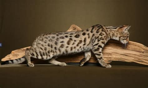 Bengal Cat One of The World?s Most Expensive Cat