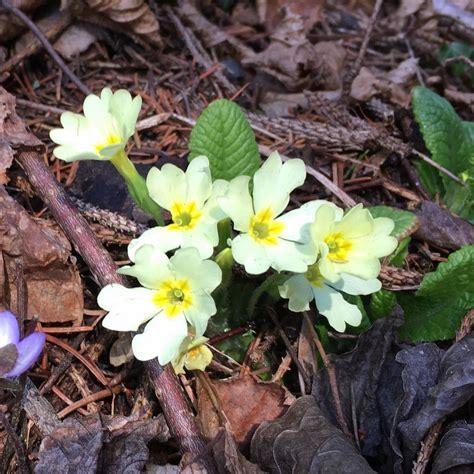 fiori primaverili fiori primaverili 28 images 10 fiori primaverili