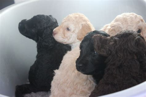 doodle signs camberley australian miniature labradoodle puppies camberley