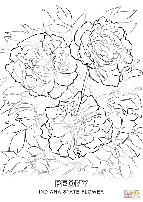 indiana state tree coloring page indiana state flower coloring page free printable