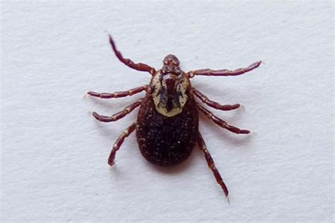 tick vs bed bug lice vs ticks difference and comparison diffen
