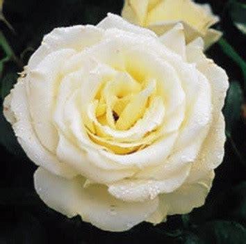 Jual Bibit Bunga Mawar Di Makassar jual tanaman mawar white ivory bibit