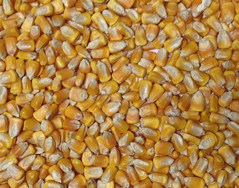 whole grain yellow corn organic yellow dent corn grain place foods