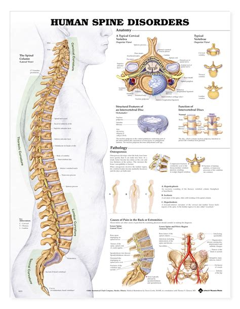 human spine diagram the human spine disorders anatomical products