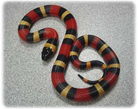 snake pattern red black yellow pueblan milk snake 12 months old customer collection only