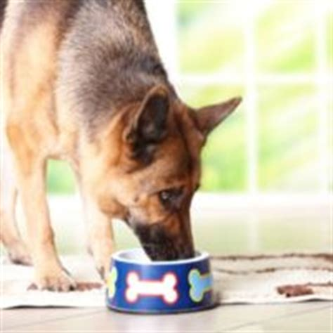 how much water do dogs need german shepherd world tips advice for german shepherd