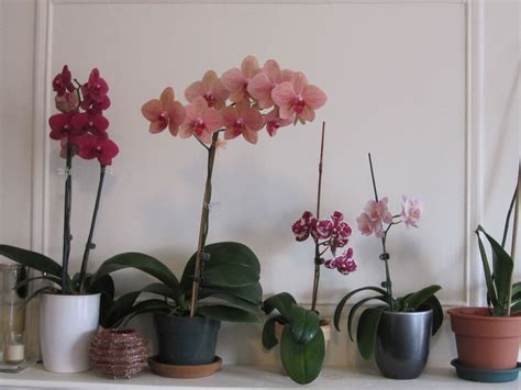 how to fertilize phalaenopsis orchids brooklyn orchids