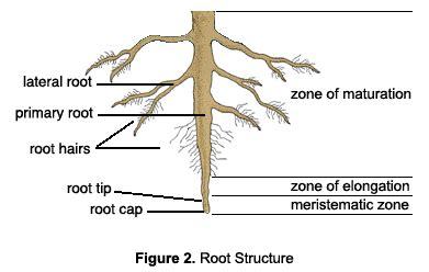 root structure diagram week 7 diggingdazza