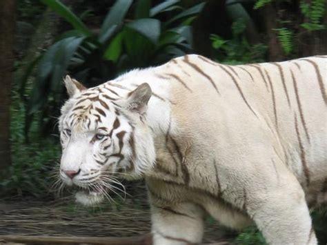 Albino Tiger   Photo
