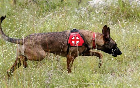 belgian malinois rescue puppies belgian malinois puppy working rescue malinois puppies